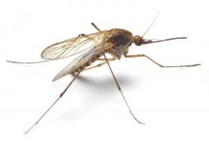 bigstock-Anopheles-mosquito--dangerous-16868006