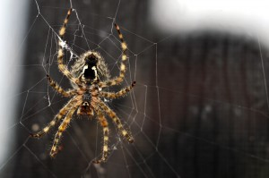 bigstock-Brown-Recluse-Spider-Building--23153375