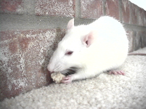 Albino_pet_rat